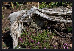 Baumruine auf Öland (Schweden)
