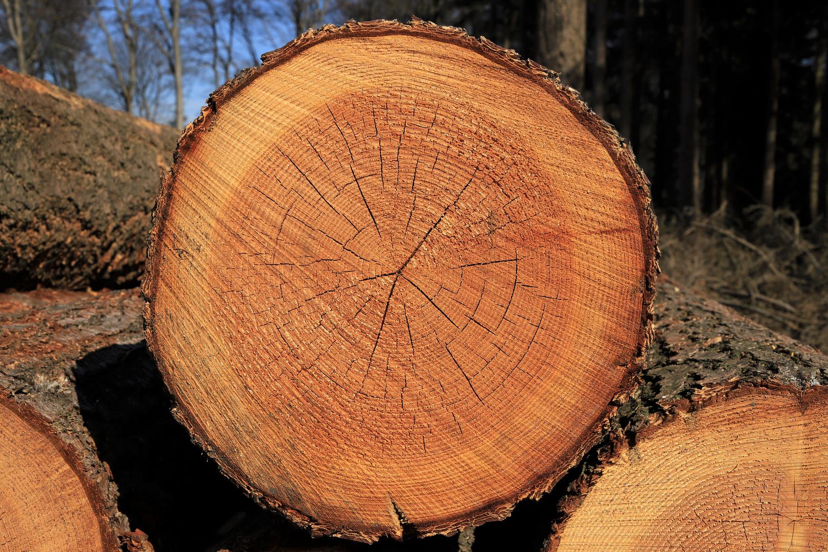 Baumscheibe mit Jahresringen