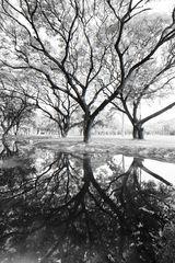 Baumspiegelungen