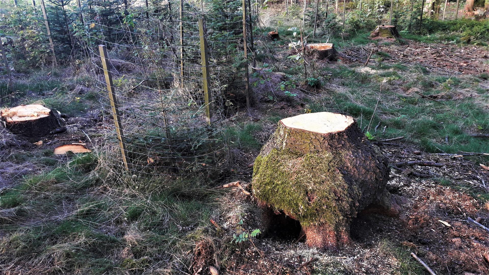 Baumstammstümpfe neben Neuanpflanzungen