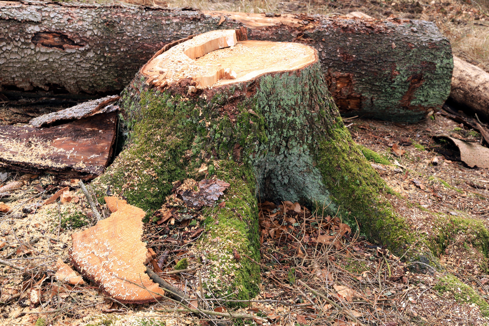 Baumstumpf einer Fichte