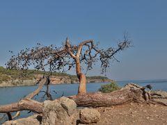 Baumveteran überm Meer