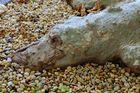 Baumwurzel Krokodil