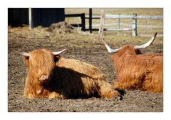 Bavarian Cattle - Bayrisches Vieh