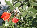 bayerische Rose