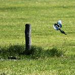 bayerischer Paradiesvogel