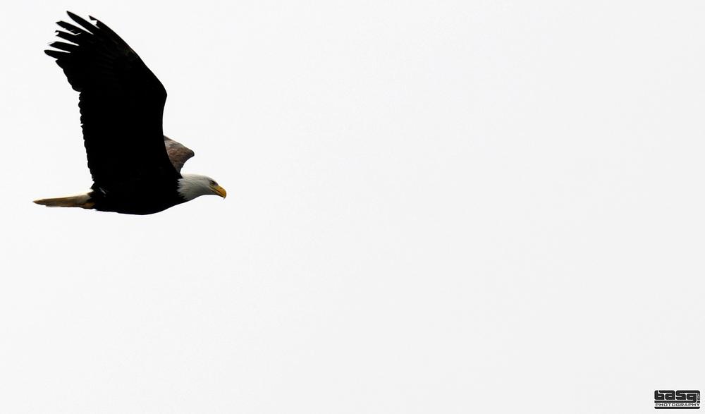 BC Eagle
