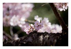 Be in full bloom