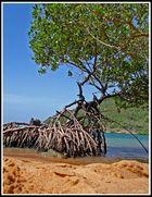 Beach with mangrove