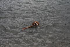 Beagle beim schwimmen