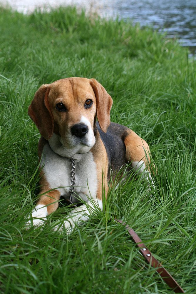 Beagle Benny