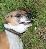 Beagle F. -etwas unwirsch-