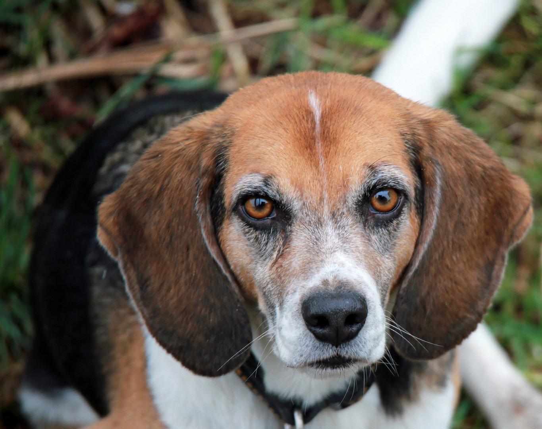 Beagle F.: schau mir in die Augen......