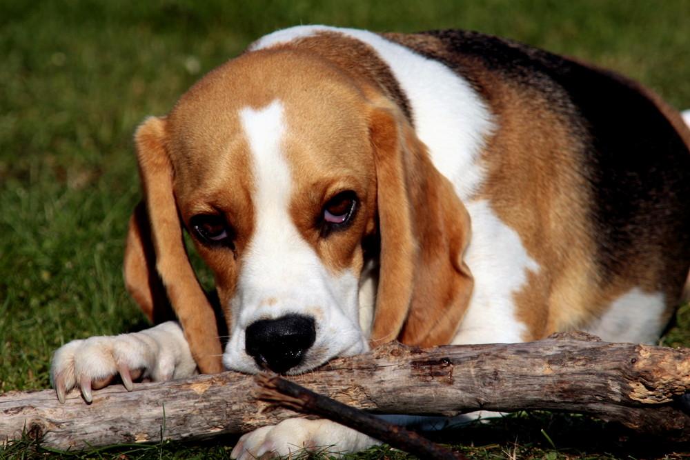 Beagle Grete