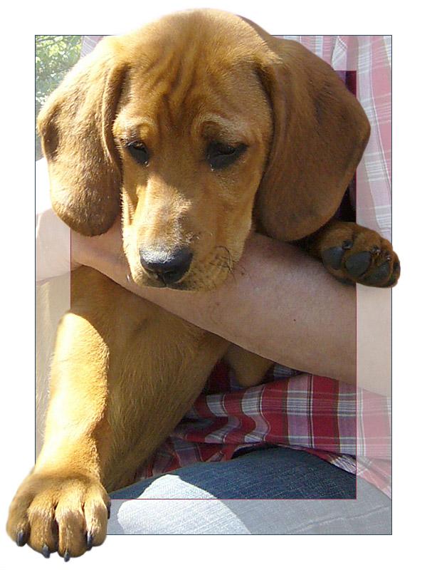 beagle mischling