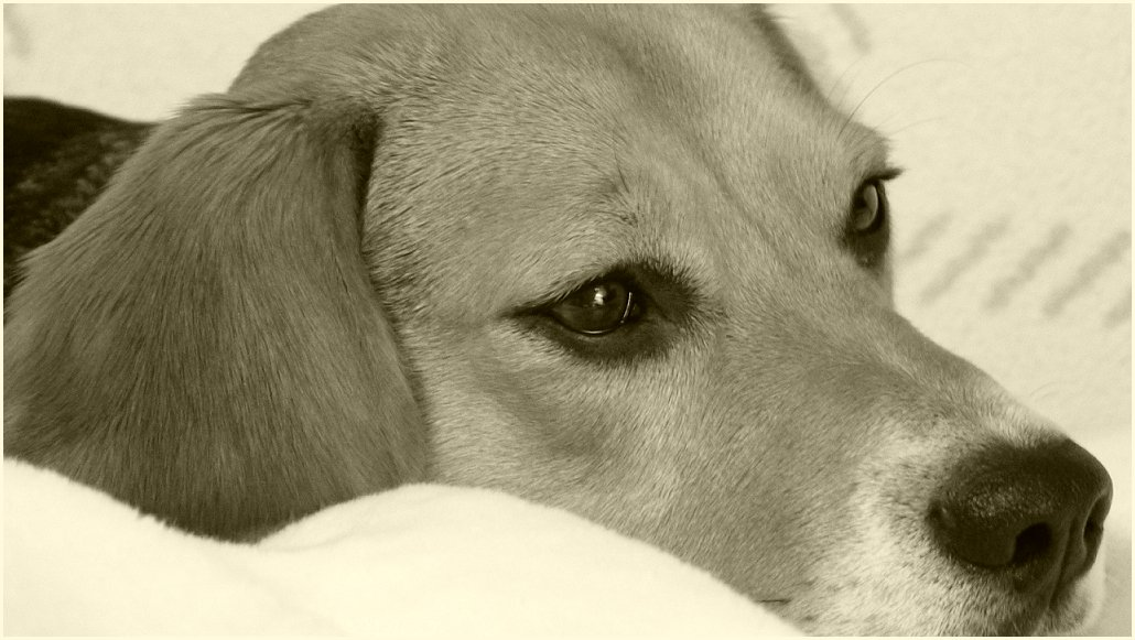 ...Beagle träumt...