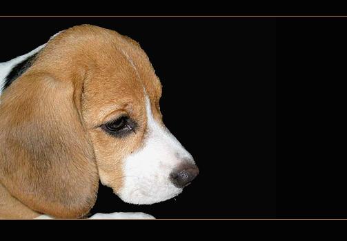 .... Beagledame