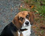 Beagle_F