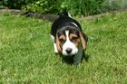 Beaglewelpe im Garten