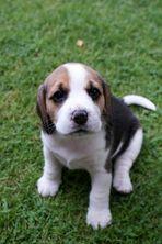 Beaglewelpe mit 4 Wochen
