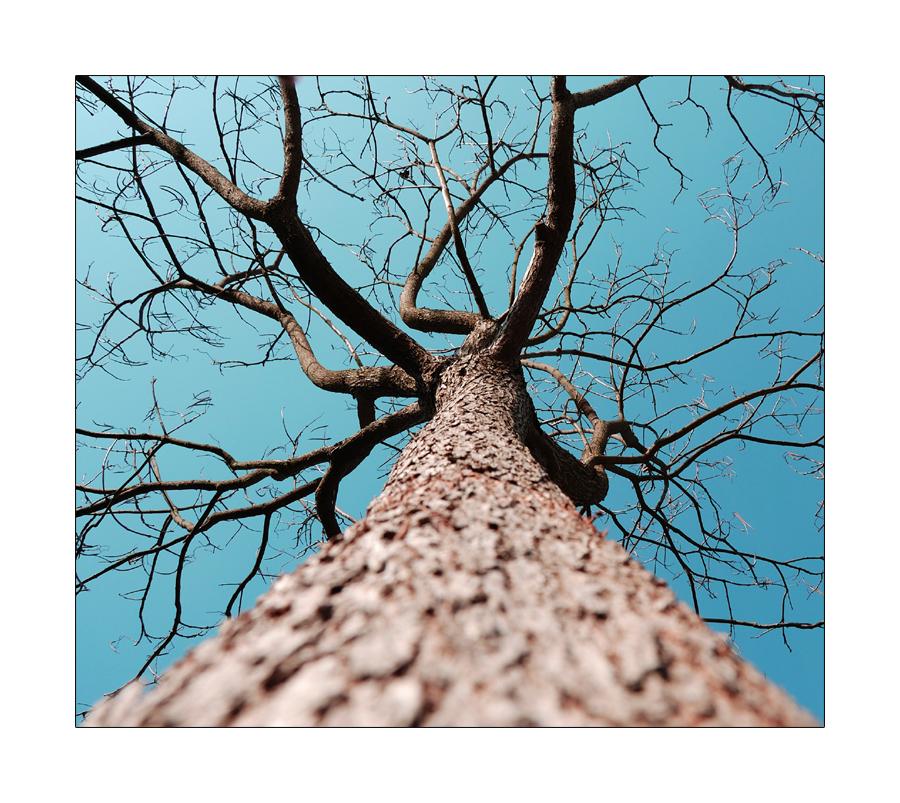 Beamtenbaum