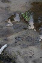 bear prints in the mud