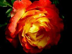 Bearbeitete Rose
