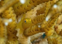 Bearded Goby