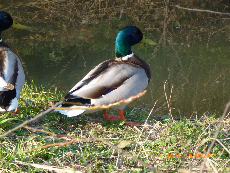 Beau canard mâle.