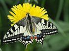 Beauté des ailes 30