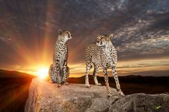 Beautiful cheetahs
