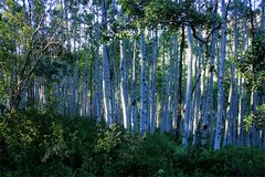 ...beautiful Colorado... Aspen Forest auf dem Kebbler Pass