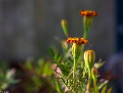 Beautiful Flowers  (19)