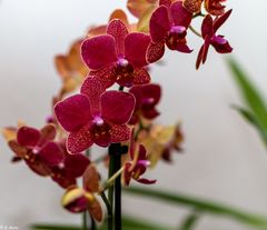 Beautiful Flowers - Orchidee (2)
