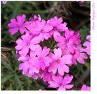Beautiful Pink...