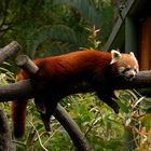Beautiful, Red and Cuddly. Born In Queensland Australia... Story within.