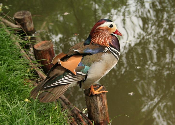 beautifull duck...