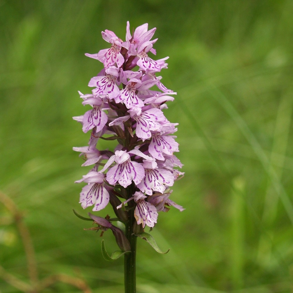 beauty flower - Dactylorhiza Fuchsi