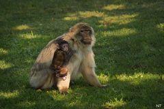Bébé magot sous la protection de sa douce maman.