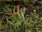 Becherflechte Cladonia polydactyla
