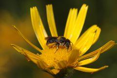 Bedornte Schneckenhaus-Mauerbiene - Osmia spinulosa - Weibchen
