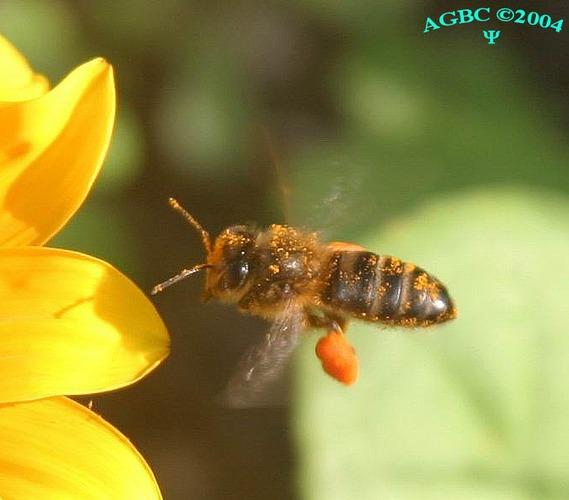 Bee (Apis mellifera) flying next to flower