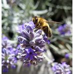 Bee at work :) II