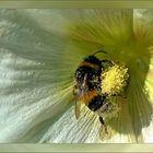 Bee in Mallow flower
