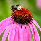 Bee on flower of Echinacea purpurea