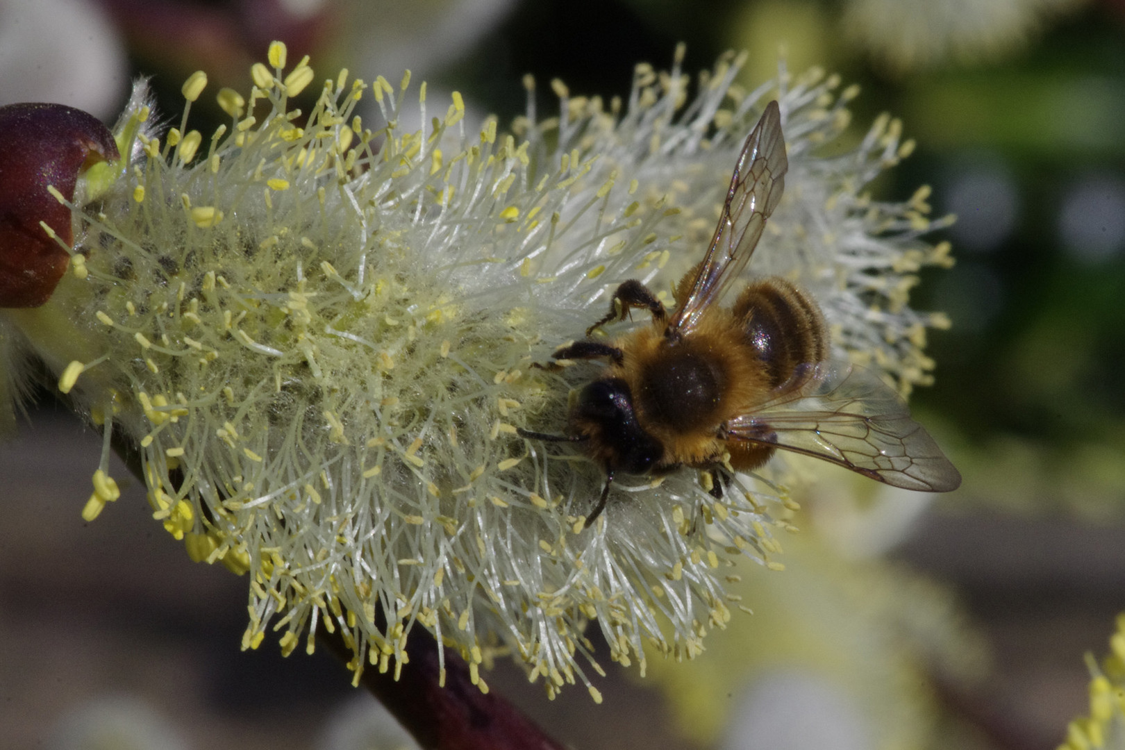 Bee on Pussy Willow