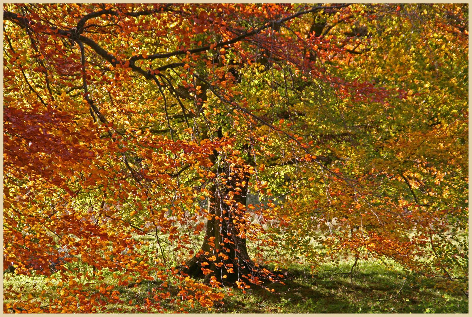 Beech trees at thropton