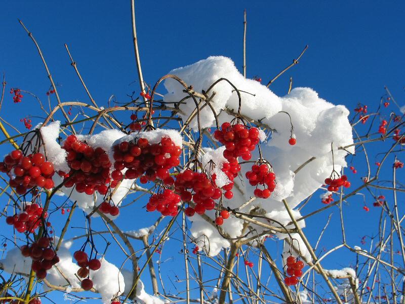 Beeren im Winter ?