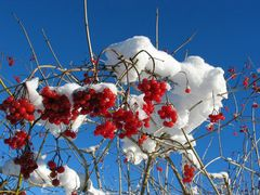 Beeren im Winter ?