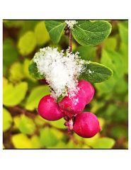 Beeren in Pink unter Schnee